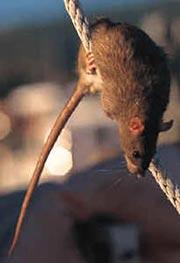 030331_rats_NPS