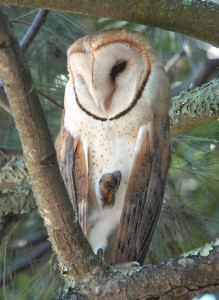 Barn Owl (Tyto alba) day-roosting in a Bay Area neighborhood