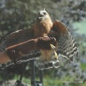 Recovered Red-shouldered Hawk gets a second chance at life