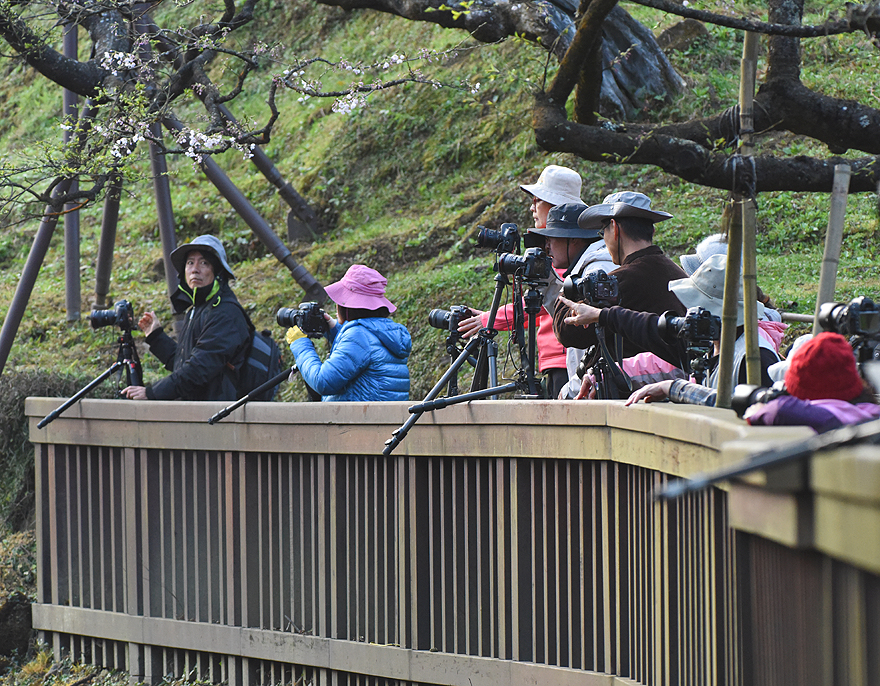 A phalanx of photographers await that perfect moment when the Alishan train rolls through the many blossoming Cherry  Trees.
