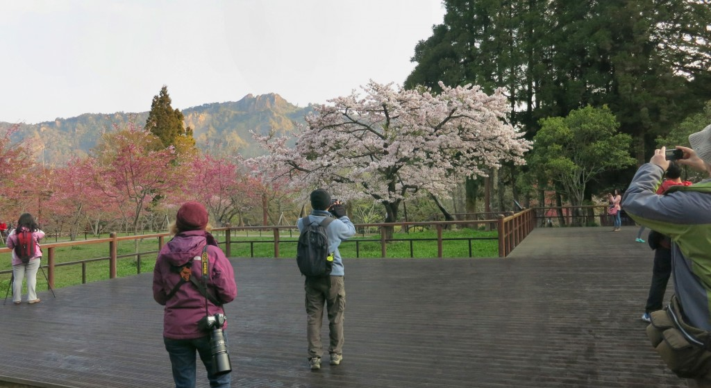 Cherry Blossom admirers in Alishan