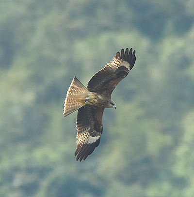 Formerly common in East Asia but declinign in recent years Black-eared Kite (Milvus lineatus) inhabit both wetlands and mountain woodland.