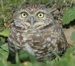 Formerly a common species, Burrowing Owl (Athene cunicularia) populations have been in steady decline due to development, changes in agricultural practices and increasing rodenticide/pesticide use