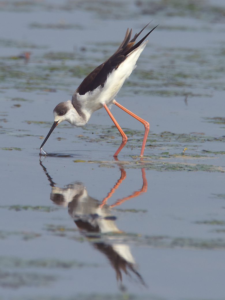Close cousin to the American Black-necked Stilt, a Black-winged Stilt  (Himantopus himantopus) forages in the manner typical to their kind