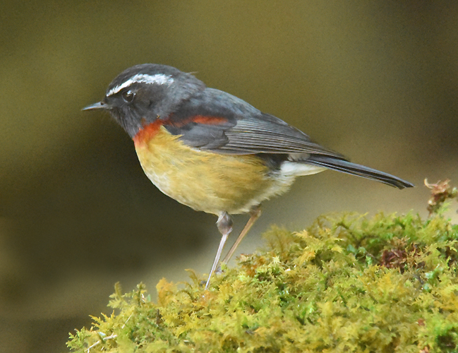 Collared Bush-Robin or Johnstone's Robin
