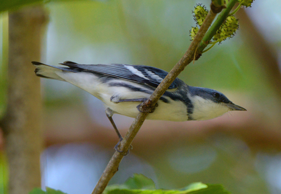 Cerulean Warbler - always a thrill to see one of these uncommon beauties!
