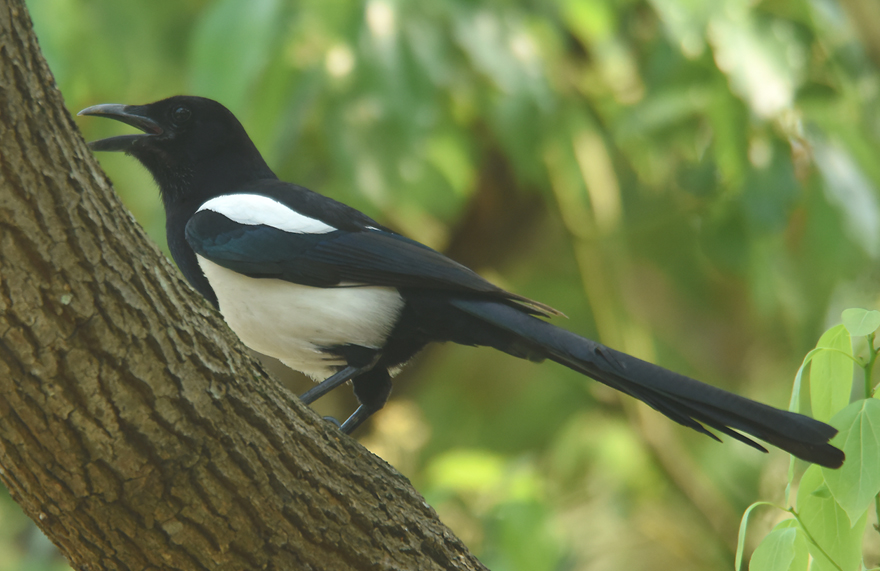 Despite their nearly identical appearance recent genetic evidence indicates that Common Magpie (Pica pica) are significantly different  enough from (Western North America) Black-billed Magpie (Pica hudsonia) to warrant its separate species name