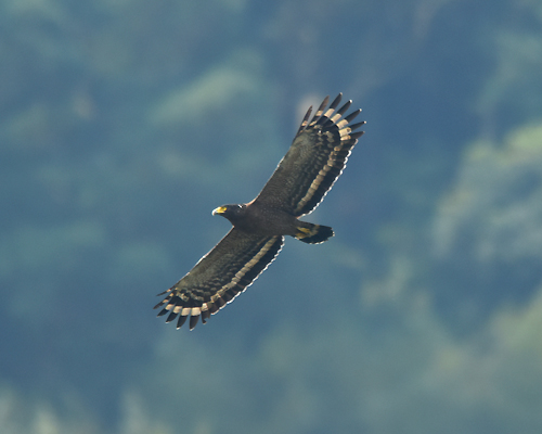A Crested Serpent Eagle (Spilornis cheela) soars over a wetland area on the hunt.