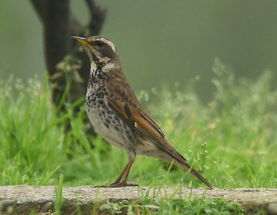 Dusky Thrush (Turdus eunomus) one of  almost 20 birds in East Asia who share the genus Turdus with our America Robin (Turdus migratorius)