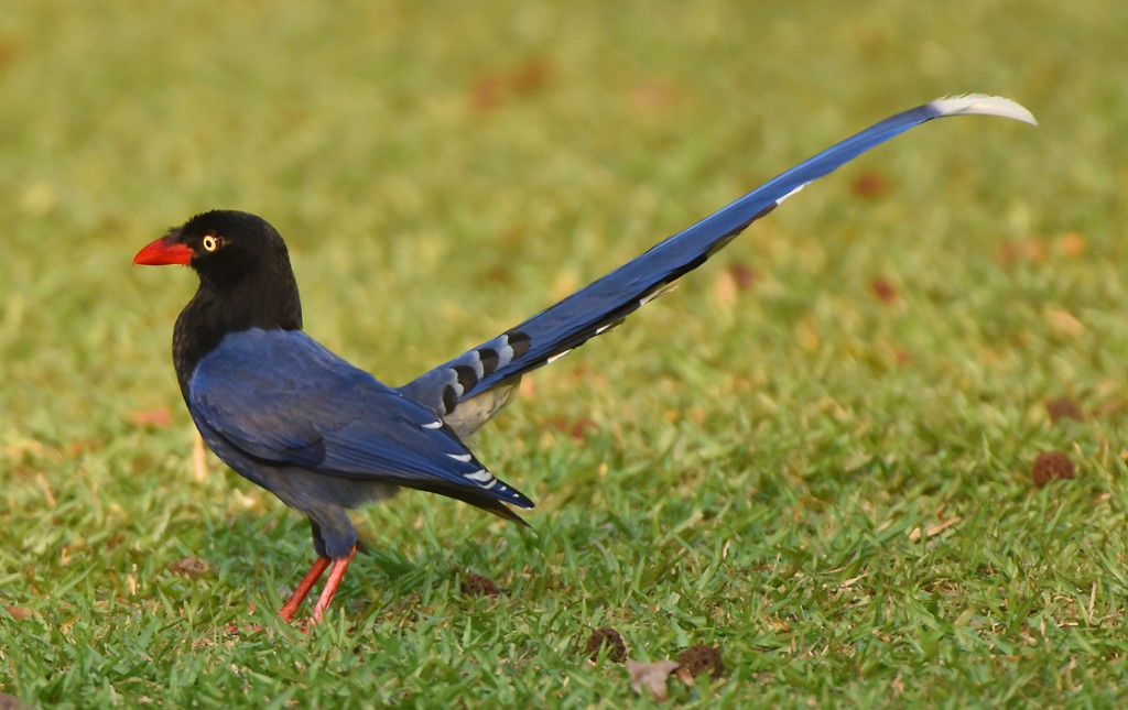 An endemic Formosan Magpie (urocissa caerulea) searches for food in a grassy area at the Huisun Forest Reserve