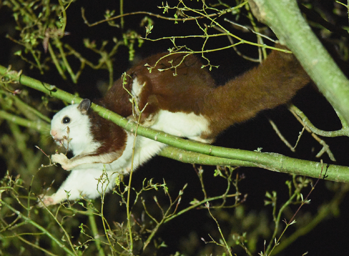 A Red and White Giant Flying Squirrel (Petaurista alborufus) forages in Amanshan