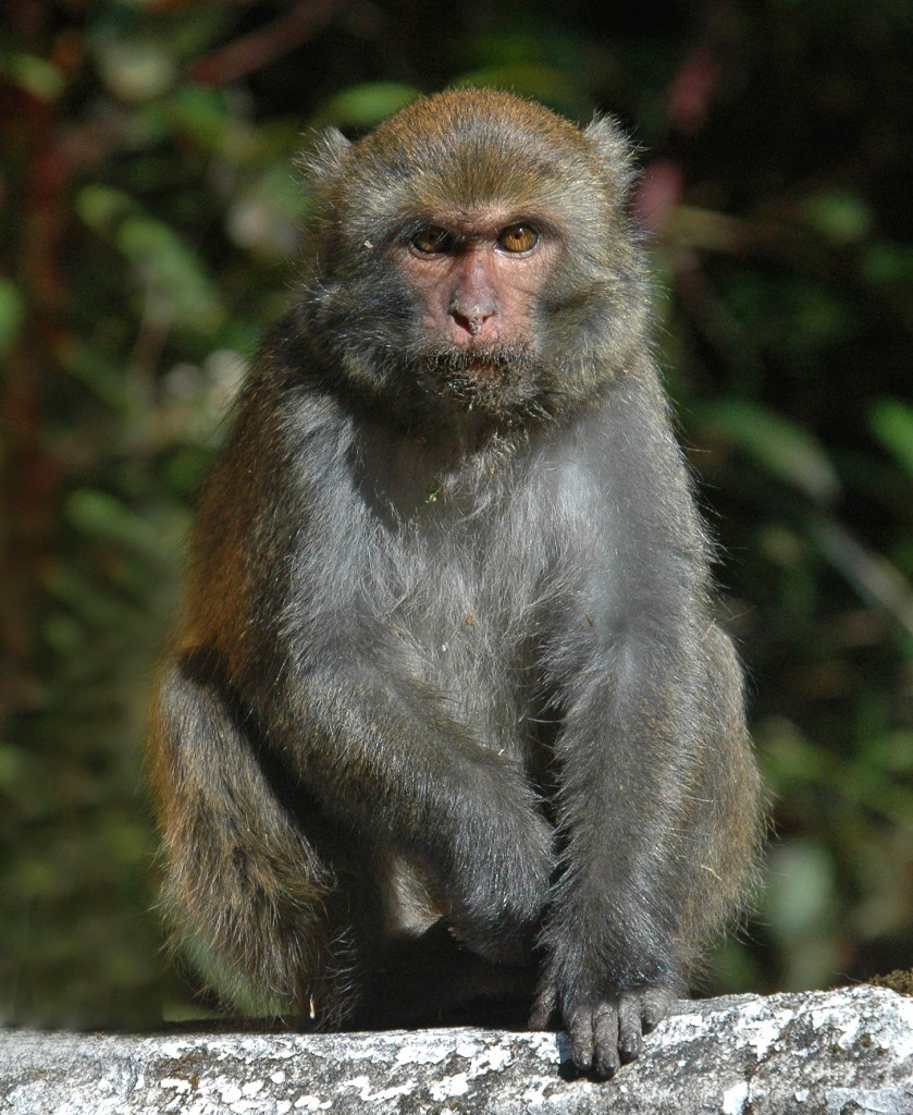 Formosan Rock Macaque's have specialized pouch-like cheeks used for temporarily storage of  morsels for later consumption