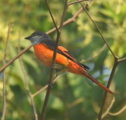 Grey-chinned Minivet (Pericrocutus solaris) favors deciduous forest and ranges widely from 150 - 2300 meters in Taiwan