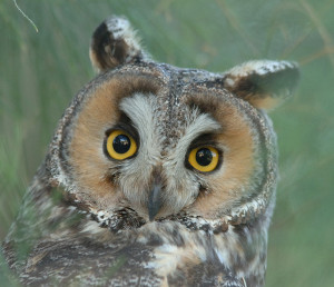 Long-eared Owl (Asio Otus) staring back from a daytime perch in Panoche Valley