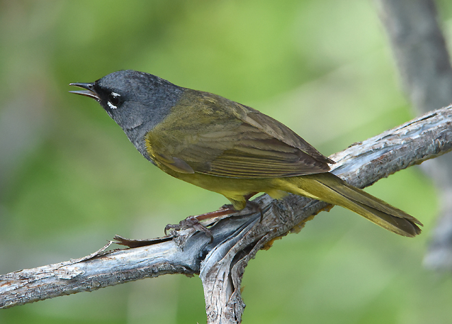 Normally secretive, a male MacGillivray's Warbler  perches out for a moment at upper Sardine Lake