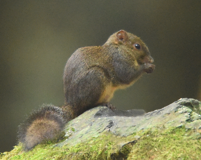One of three Tree Squirrel species of Taiwan - Perney's Long-nosed Squirrel  (Dremomys pernyi)