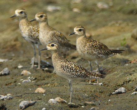 "Common in winter and spring migration in taiwan Pacific Golden Plover ( Pluvialis fulva) is one of the widespread species we ""share"" with Asia"