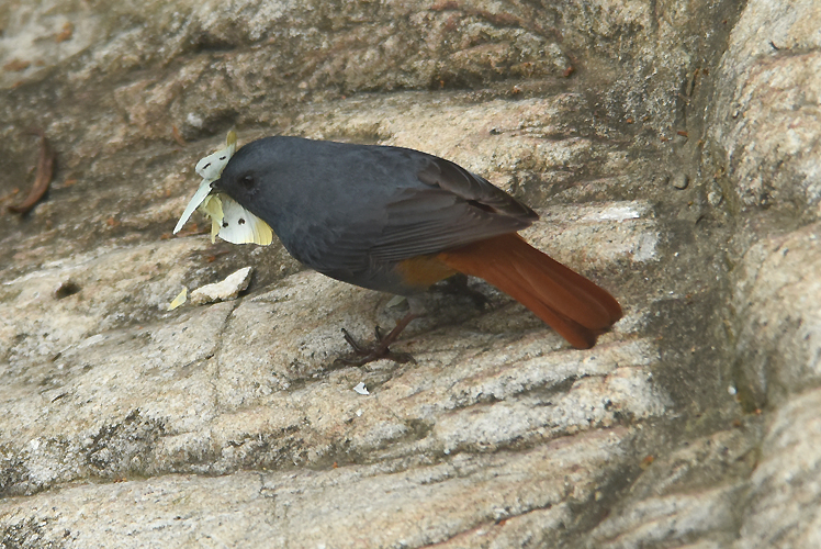 Plumbeous Redstart (Rhyacornis fuliginosa affinis) are commonly seen hunting insects  along mid to high elevation rivers and streams in Taiwan