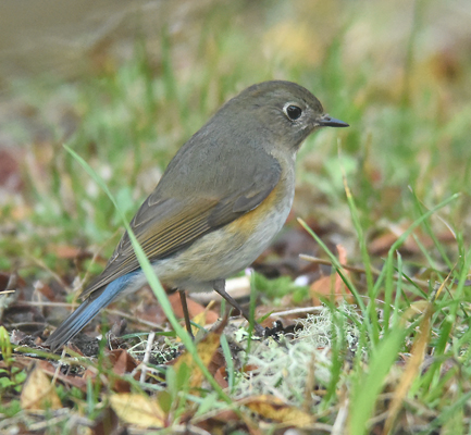 An early spring migrant Red-flanked Bluetail (Luscinia cyanura) we discovered at high elevation n Yusan