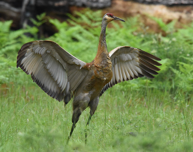 Preparing for Liftoff! A Greater Sandhill Crane limbers up at Lake Madora