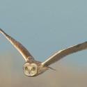 Pondering urban owls
