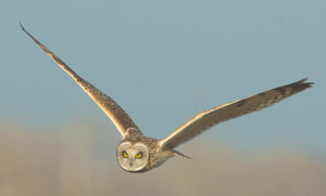 Short-eared Owls (Asio flammeus) occur regularly in winter throughout the Bay Area