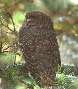This Spotted Owl was discovered on Hawk Hill just a short flight away from San Francisco on October 7, 2006