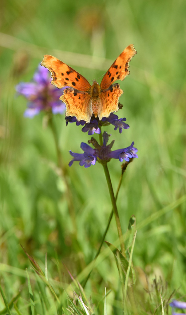 a Satyr Comma sips nectar from Penstemon in Chapman Meadow