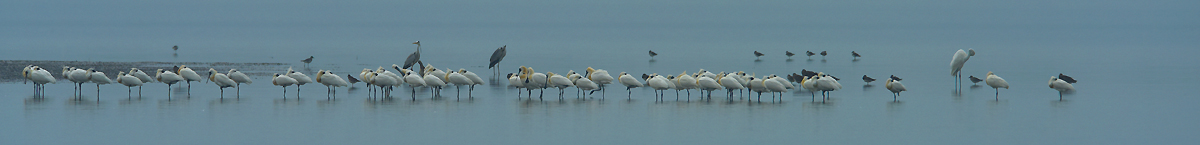 Line of Spoonbills and other shorebirds at the Black-faced Spoonbill Reserve near Tainan