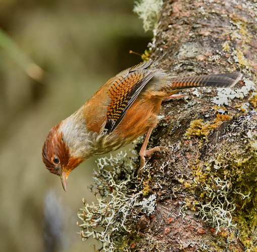 The Taiwan Barwing (Actinodura morrisoniana) is one of the specialties of the high country in Taiwan