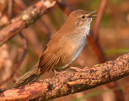 An elusive endemic confined to Taiwan's central mountains (above 1200m) is the elusive Taiwan Bush Warbler (Bradypterus alishanensis). One of about a dozen East Asian Bush Warblers - all classic LBJs (Little Brown Jobs).
