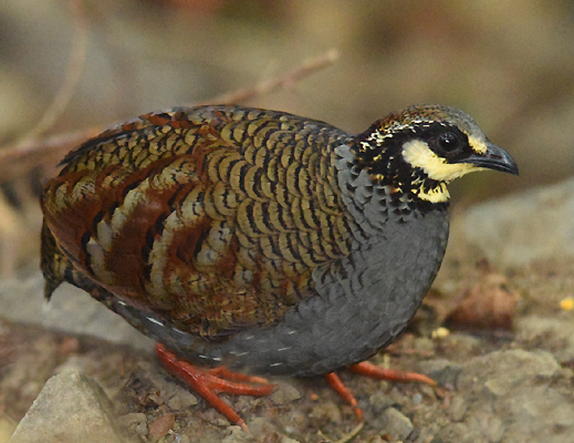 Often heard vocalizing but secretive and difficult to see this was our first good look at an endemic Taiwan Hill Partridge  Arborophila crudigularis