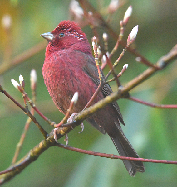 """Variously referred to as Vinaceous, Formosan or Taiwan Rosefinch (Carpodacus vinaceus) the happy sounding """"Rosyfinch"""" inhabits high elevation (2-3.5K m) bamboo thickets and forest edge"""