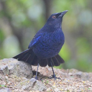 The melodious Formosan or Taiwan Whistling-thrush (Myophonus insularis) habitually fans its tail