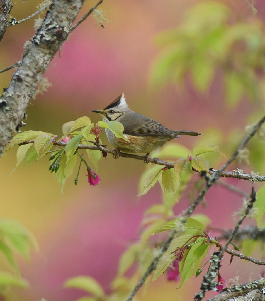 Cherry blossoms made a lovely background for this Taiwan Yuhina