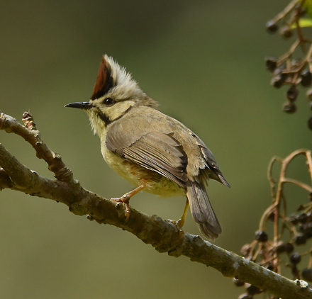 On eof the most common birds in the 1500 - 2500 m hill forests is the tit-like Taiwan Yuhina (Yuhina brunneiceps).