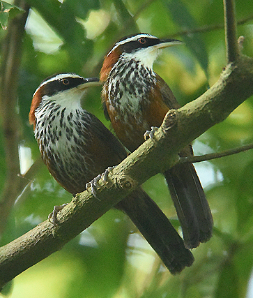 Fairly common endemic resident of low to mid-level forests Taiwan Scimtar Babblers (Pomatorhinus musicus) have a curious nature and a fun name to go with it.