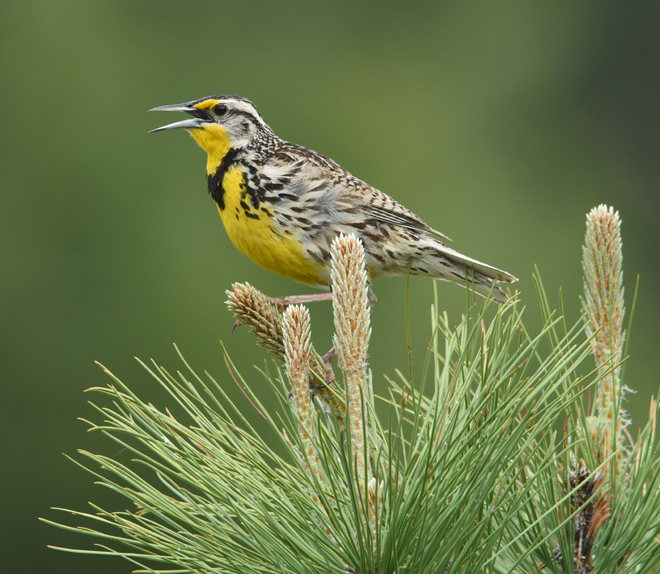 Not as pretty as it sings, this Western Meadowlark  is plenty handsome nonetheless