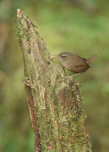 A very widespread species across the Holarctic,  over 40 sub-species are recognized of the Winter Wren. The Taiwan endemic sub-species is Troglodytes troglodytes taivanus.