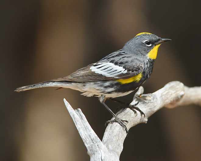 "this male ""Audubon's"" Warbler brownish wing feathers indicate a hint of feather wear in mid-June."